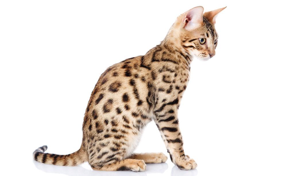kissan sukukypsyys viikkarin neuvola