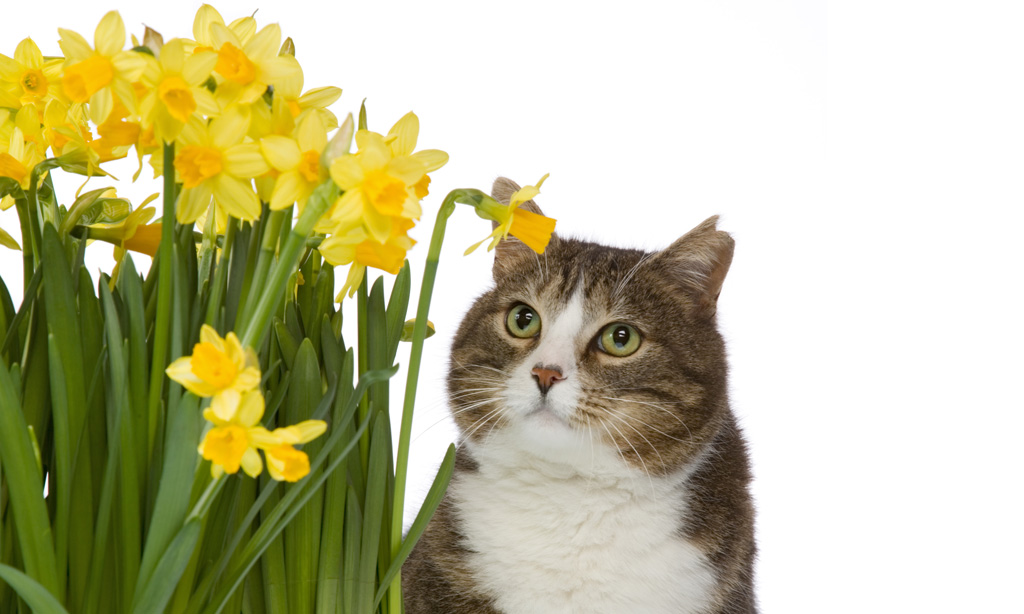 Kissoille Myrkylliset Kukat