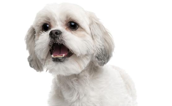 Koiran Haukunta